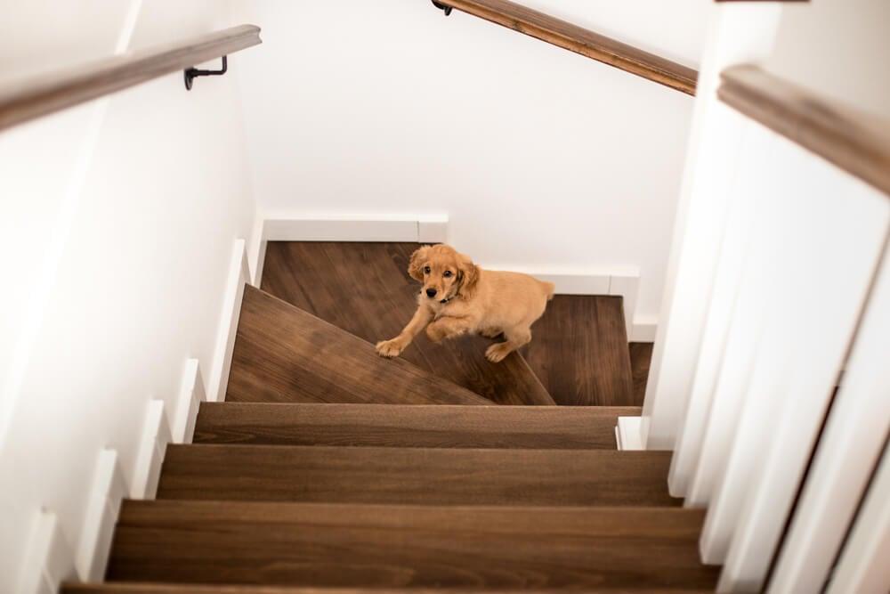 hundvalp springer i trapp