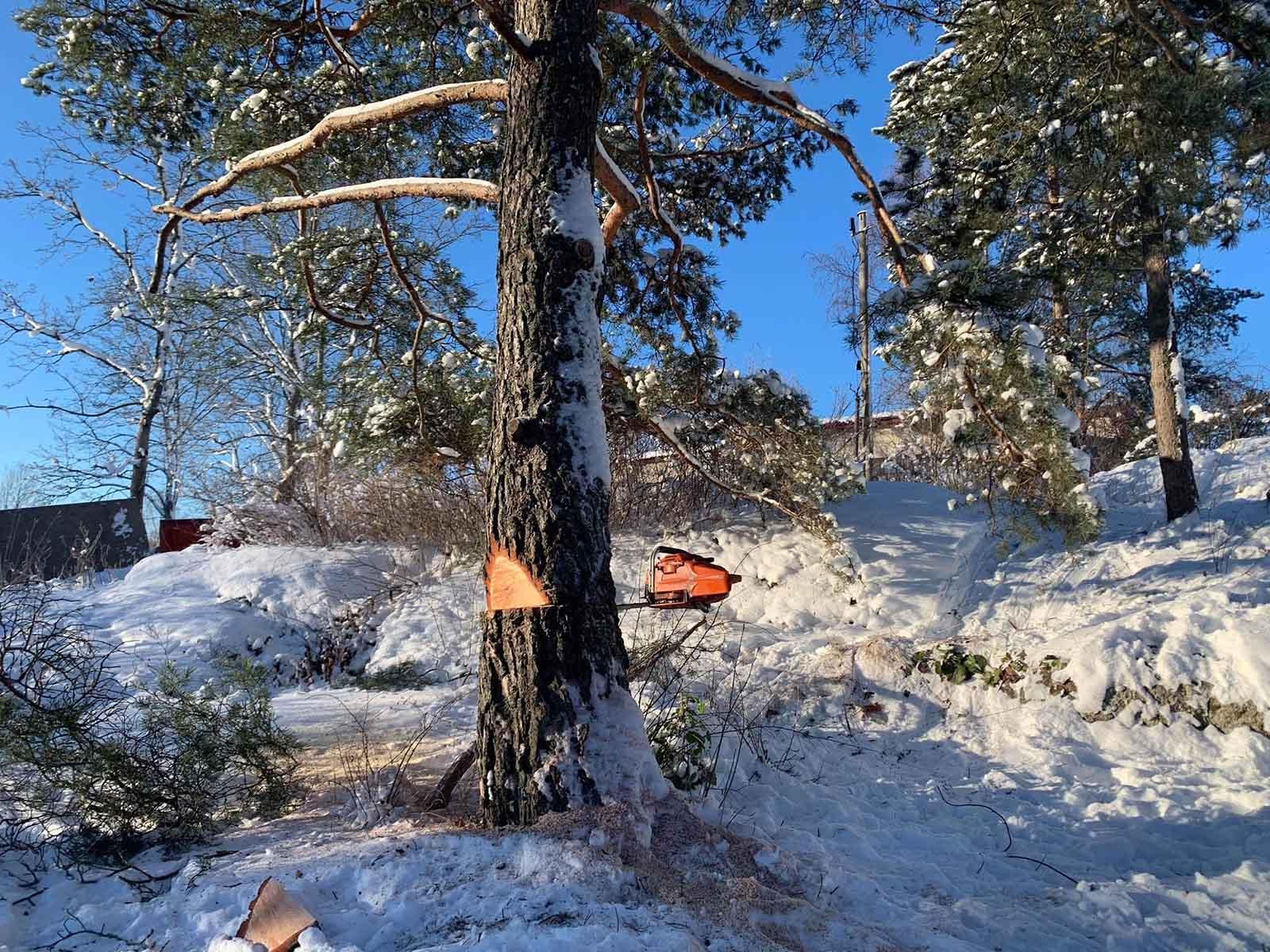 Vi hjälper dig med alla typer av markarbeten i Stockholm! Tack vare vår breda expertis kan det handla om från enskilt avlopp i Stockholm till trädfällning, som här. På bilden ett träd som ska fällas.