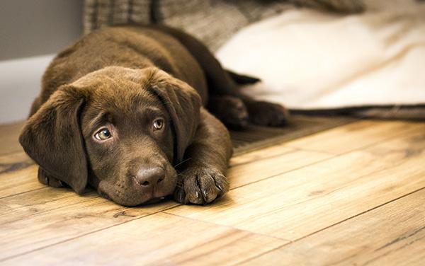 chefens hund på nyslipat golv