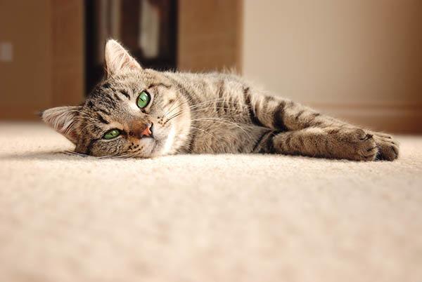 katt på matta